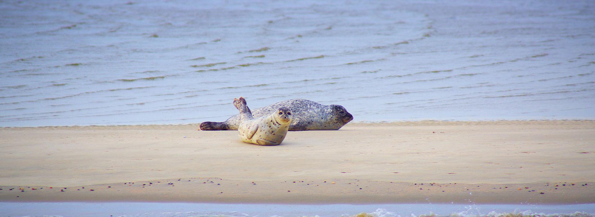 Ameland-bezoeken-vakantie-in-Friesland-Ljeppershiem-vakantiepark-zeehonden